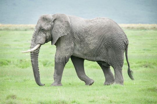 fig. 1b. the same elephant.