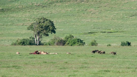note the hyenas on the periphery; the lionesses had been eating for a while.