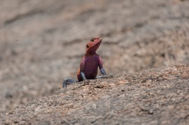 because no one goes on safari to see the rock agama.